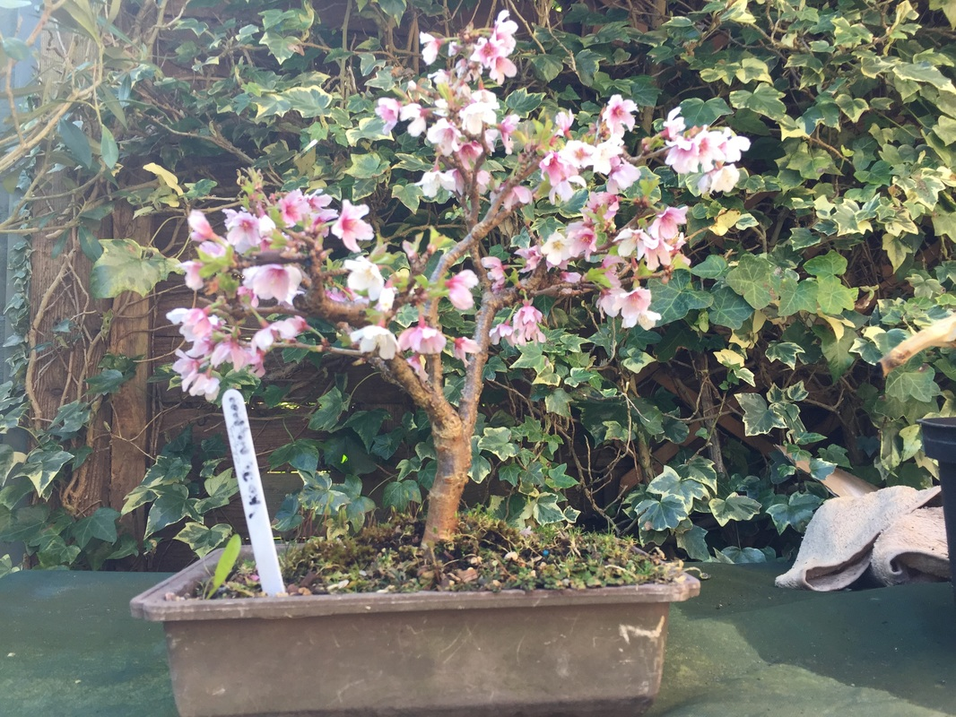 Cherry Fuji No Mai Mai Bonsai Com